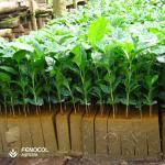 Espuma agrícola (sustrato) para café.