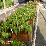 Espuma agrícola cacao