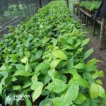 Cacao en espuma agrícola